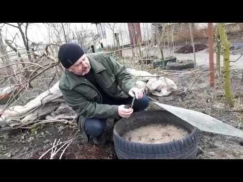 Актинидия аргута: размножение, обрезка, укрытие на зиму
