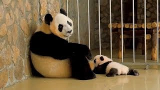 Too Funny! Super cute panda baby and panda mother's wonderful moment