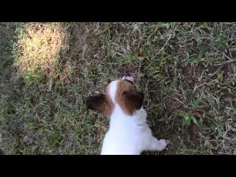 AKC Papillon Puppy Female