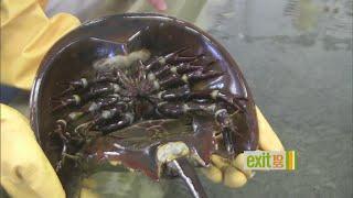 Horseshoe Crabs Populations At Risk