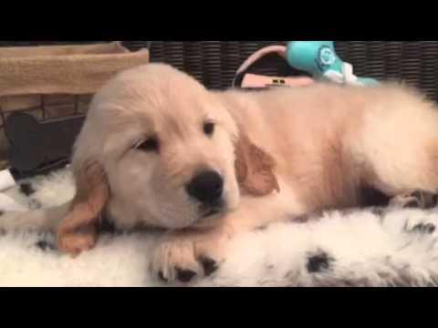 Handsome, Lovable Golden puppy, Full AKC
