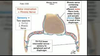 Top 10 information about phrenic nerve