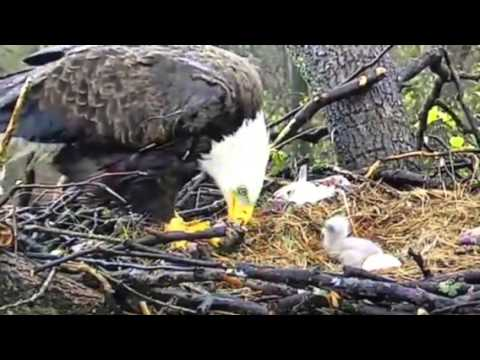 Baby Eagles in DC