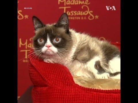Cô mèo cau có 'Grumpy Cat' qua đời (VOA)