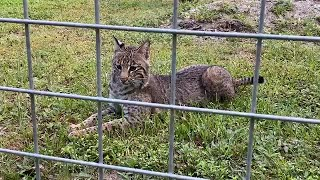 First Morning at Big Cat Rescue after statewide Stay at Home order