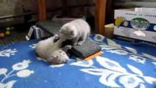 британские кошки, Шотландские вислоухие котята