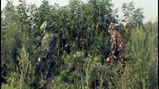 Уничтожены 9 гектаров гигантской конопли.MestoproTV