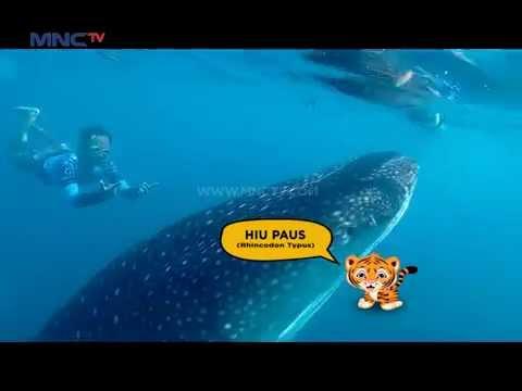 Video Pantai Wisata Hiu Paus di Gorontalo - Jejak Rimba (20/8)
