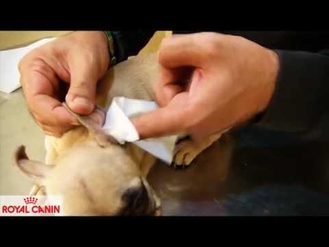Cómo limpiar las orejas a un perro - Consejos caninos Royal Canin