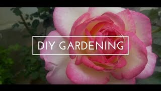 how to revive a dying potted rose plant   how to care rose plant   rose plant saving tips