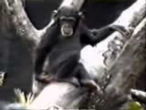 Affe kippt vom Baum