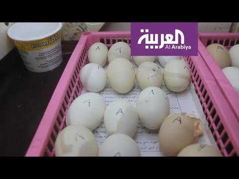 العرب اليوم - شاهد: تناول قشر البيض لعظام قوية