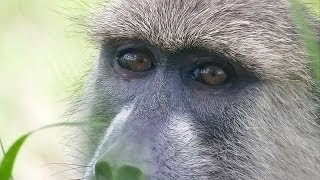 preview picture of video 'Tracking wild YELLOW BABOONS in Mikumi National Park - Tanzania'