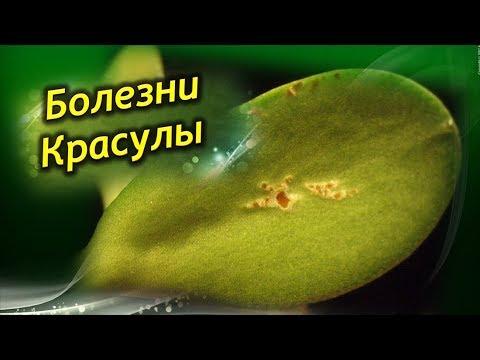 Денежное дерево ЗАБОЛЕЛО. Болезни и способы лечения Толстянки!
