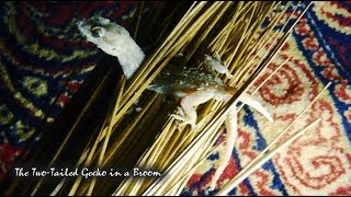 The Two-Tailed Gceko in a Broom