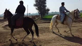 preview picture of video 'Training of top nezabazi horses in pakistan'