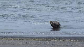 水浴びをするオジロワシ
