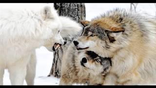 У волка путь один