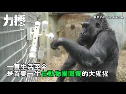 首隻動物園出生大猩猩離世