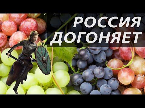 Урожай винограда-2019 | Россия отстаёт по винограду | Виноград викингов