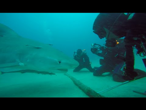 Tiger shark in United States