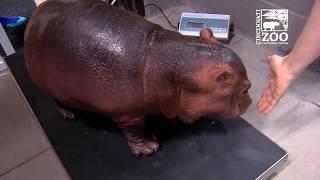 Baby Hippo Fiona Turns 1 - First Year Highlights - Cincinnati Zoo