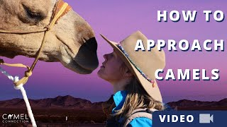 How To Approach Camels Respectfully