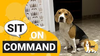 How to Train your Beagle to Sit on Command