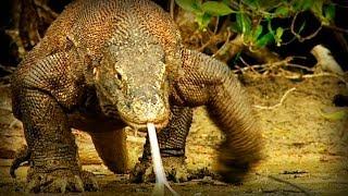 Komodo: Tierra de Dragones (documental completo) | Kholo.pk