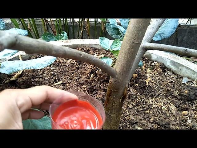การรักษาโรคยางไหลต้นมะนาว