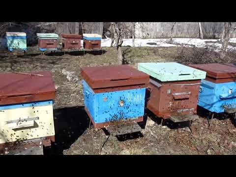 Первый массовый облёт пчёл  2019