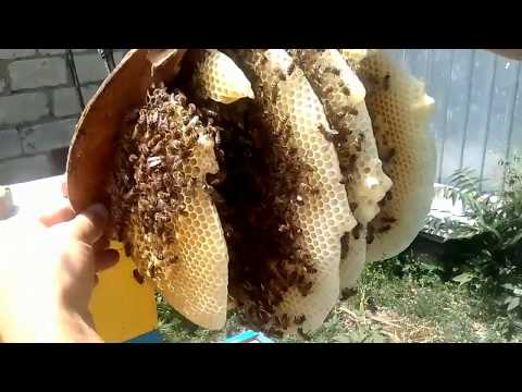 РОЙ В ЛОВУШКЕ РЕШИЛ ОТ РОИТЬСЯ-как поймать бродячий рой пчел.