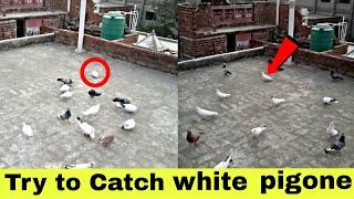 white kabutar videos - मुफ्त ऑनलाइन वीडियो