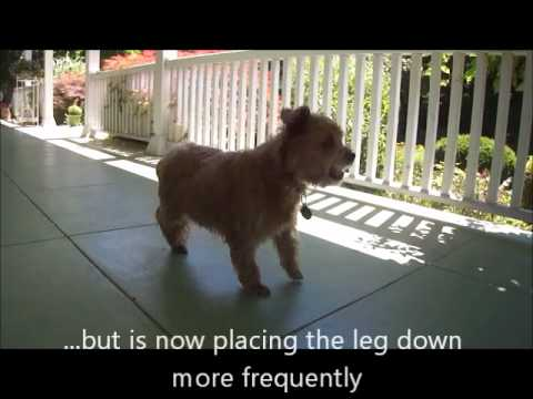 Canine Mobility Clinic Provides Therapy Options For Dogs With Leg/knee(stifle) Injury