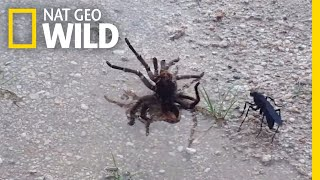 Wasp Vs. Tarantula, Explained By a Nine-Year-Old | Nat Geo Wild