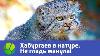 Не гладь манула! Хабургаев в натуре | Живая Планета