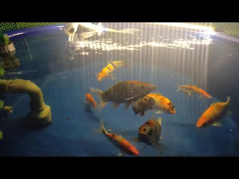 Hồ cá Koi ngày 21-01-2021 | btkoi.com