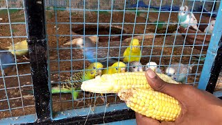 Budgies Breeding Formula | Food | Cage | Box | Sounds