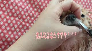 【初(´・ω・`)動画】チワワおヒゲカット