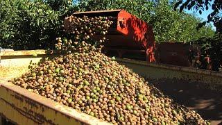 Walnut Farming And Harvesting - Walnut Cultivation Technology - Walnut Processing Factory