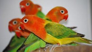 Birds Breeding Tips - karachi lalukhet birds sunday market | birds