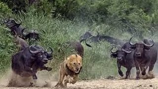 Download Video Dangerous African Cape Buffalo (Black Death) - attacks & kills Lions in Africa MP3 3GP MP4