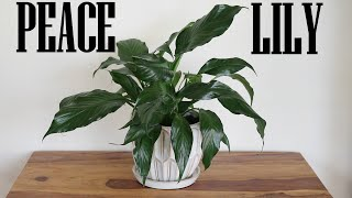 Peace Lily (Spathiphyllum) Growing In Water & Transferring To Soil