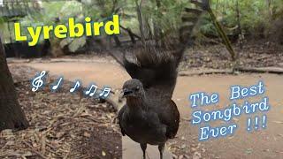 Die besten 100 Videos Gesang des Leierschwanzes - Lyrebird: The Best Songbird Ever!