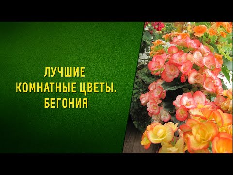 Лучшие комнатные цветы  Бегония