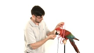 Santina Green Winged Macaw - How to Re-Harness Train a Parrot in 4K