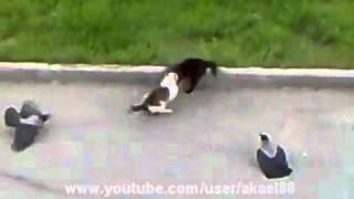 Epic Cat Fight (cats Horror) Crows Vs Cat Vs Cat Street Fight