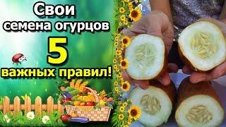 Как собрать семена огурцов правильно видео