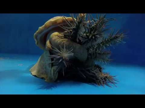 Understanding the genetic basis of chemicals produced by crown-of-thorns starfish during aggregations or when alarmed by the predatory giant triton snail may help with developing biotechnologies to attract or disperse the species. This timelapse shows a giant triton hunting and feeding on the coral-eating starfish.