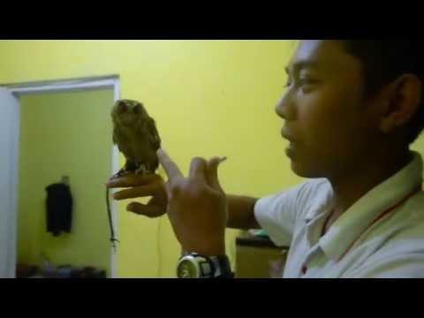 Video training owl celepuk FTTF (cicit)